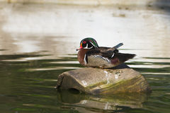 American Wood Duck - Aix sponsa. Male American Wood Duck in a pond Stock Photo