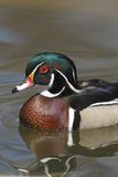 American Wood Duck (Aix sponsa) Stock Photos