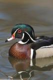American Wood Duck (Aix sponsa). Male drake Stock Photos