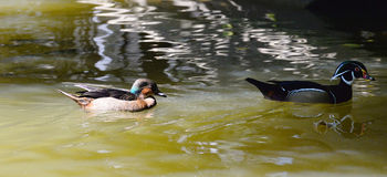 American wood duck Royalty Free Stock Images