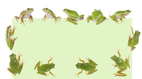 The American wood green frogs (Hyla cinerea) Stock Photo