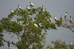 American wood  stork, Mycteria americana Stock Photos