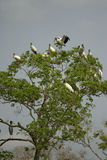 American wood  stork, Mycteria americana Stock Images