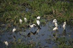 American wood-stork, Mycteria americana Royalty Free Stock Photography