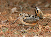 American Woodcock Courtship. Male American Woodcock showing a courtship display royalty free stock photos