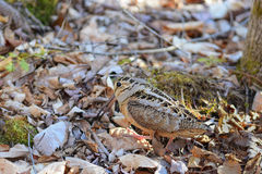 American Woodcock foraging Royalty Free Stock Image