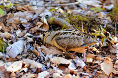 American Woodcock probing for worms Stock Images