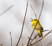 American Yellow Warbler Royalty Free Stock Photos