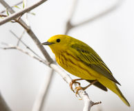 American Yellow Warbler Royalty Free Stock Image