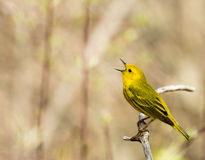 American Yellow Warbler Royalty Free Stock Images