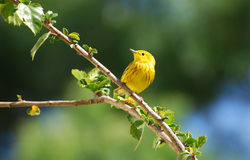 An American Yellow Warbler in Hibiscus bush. Image shows a Yellow Warbler (Dendroica petechia) in a Hibiscus bush. Photo location is in Laguna Woods, California Stock Images