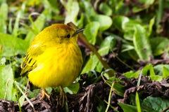 American Yellow Warbler. (latin Setophaga petechial Royalty Free Stock Photo