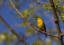 American yellow warbler. (latin Setophaga petechial Royalty Free Stock Photography