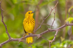 American yellow warbler (Setophaga petechia) Stock Photos