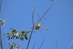 American yellow warbler (Setophaga petechia Stock Photos