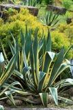 Americana agave royalty-vrije stock fotografie