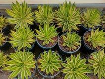` Americana di marginata dell'agave del ` Immagini Stock