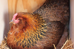 Americana Hen on Nest. Americana hen chicken setting on her nest of eggs in straw royalty free stock photo
