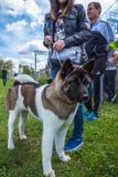 Americano Akita da raça do cão fora Gomel, Bielorrússia Imagem de Stock