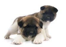 Americano Akita del perrito fotografía de archivo libre de regalías