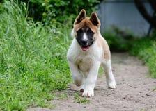 Americano Akita del perrito Foto de archivo