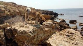 Americano Akita nas rochas pelo mar imagens de stock