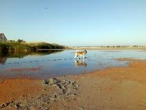 Americano Akita sulla riflessione del lago nell'acqua fotografia stock