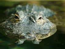 Americano Alligater Fotografia Stock Libera da Diritti