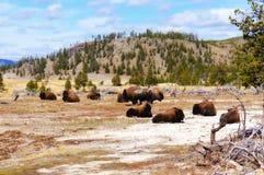 Americano Bison Buffalo nel parco nazionale di Yellowstone, Wyoming Fotografie Stock Libere da Diritti
