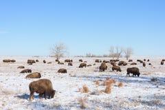 Americano Bison Bull - espécime Genetically puro Imagem de Stock Royalty Free