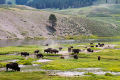 Americano Bison Herds Fotografia de Stock Royalty Free