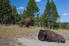 Americano Bizon en el parque nacional de Yellowstone Fotos de archivo