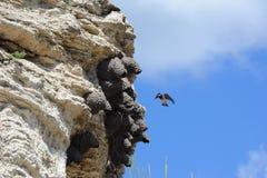 Americano Cliff Swallow en Yellowstone Fotos de archivo