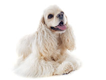 Americano cocker spaniel Immagine Stock