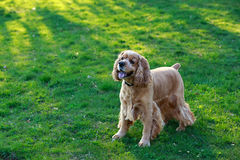Americano cocker spaniel de la raza del perro Fotografía de archivo libre de regalías