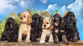 Americano cocker spaniel dos cachorrinhos Imagens de Stock