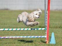 Americano cocker spaniel en un ensayo de la agilidad del perro Fotos de archivo