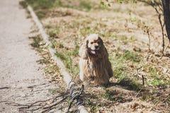 Americano cocker spaniel para el paseo en parque del otoño fotos de archivo libres de regalías