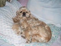 Americano cocker spaniel que miente en la almohada fotos de archivo libres de regalías