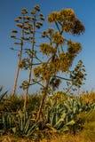 Americano da agave Fotografia de Stock Royalty Free