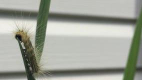 Americano Dagger Moth Caterpillar que come las hojas en un día ventoso en Ontario almacen de metraje de vídeo