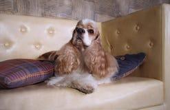 Americano de preparación cocker spaniel del salón para la exposición canina Fotografía de archivo