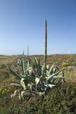 Americano dell'agave nell'Algarve, Portogallo Fotografia Stock