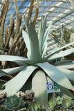 Americano dell'agave, pianta di secolo, aloe americano Fotografie Stock Libere da Diritti
