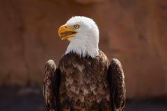 Americano Eagle Fotografia Stock