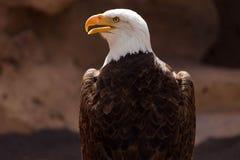 Americano Eagle Immagini Stock Libere da Diritti