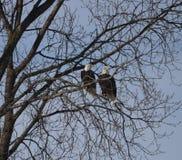 Americano Eagle calvo #1 foto de archivo libre de regalías