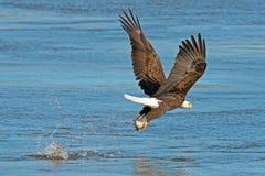 Americano Eagle Fish Grab calvo imagen de archivo
