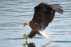 Americano Eagle Fish Grab calvo foto de archivo