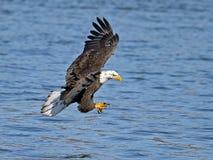 Americano Eagle Fish Grab calvo fotos de archivo libres de regalías